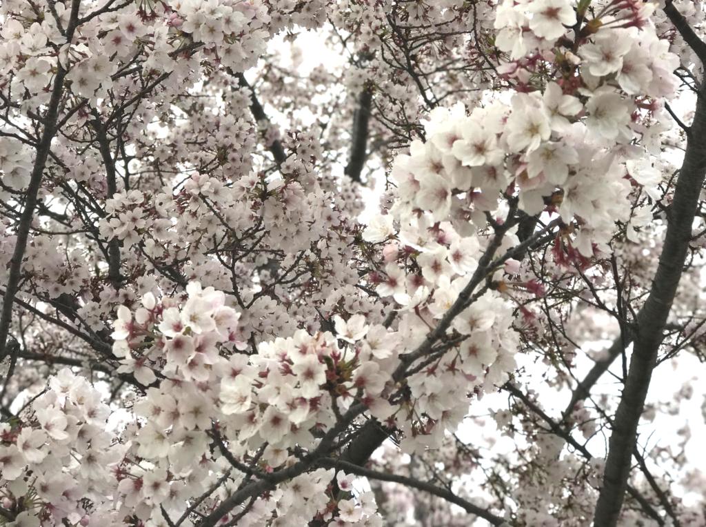 春の行事|さくら国際高等学校